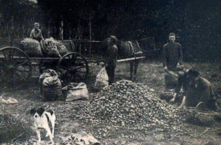 Sortieren der Kartoffeln um 1934. Nietfeld Langwege